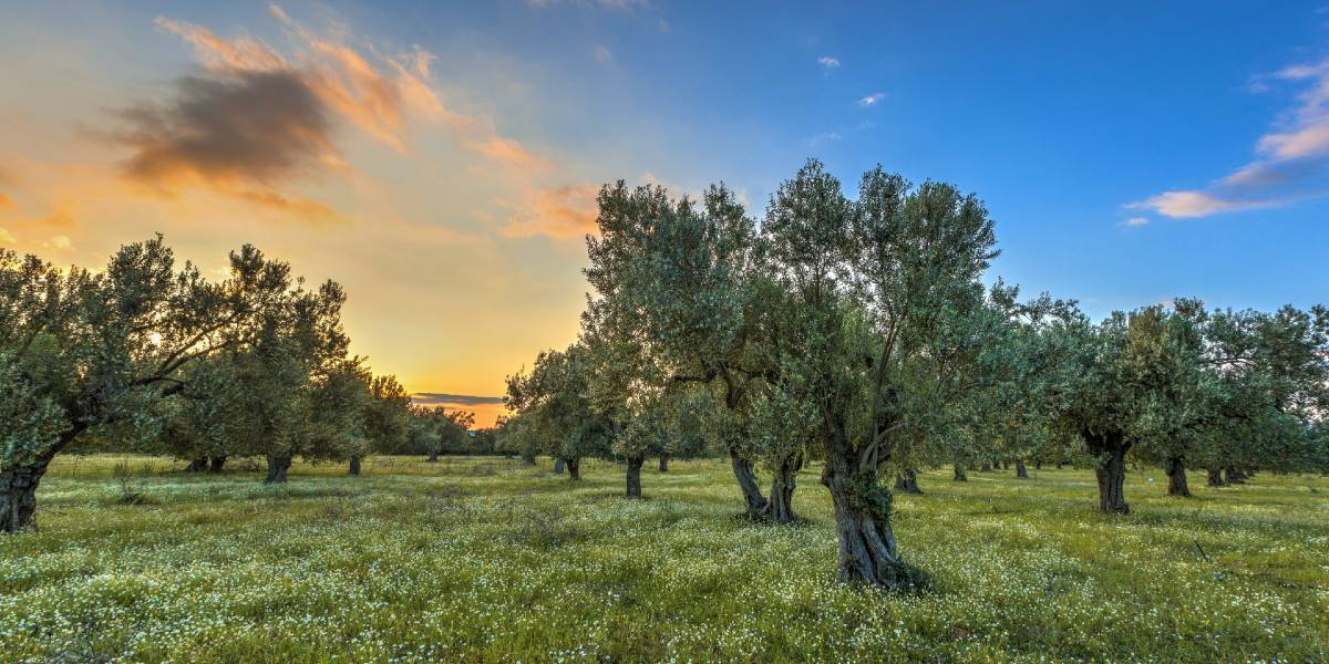 olive trees, grass, sunset, blue and orange sky
