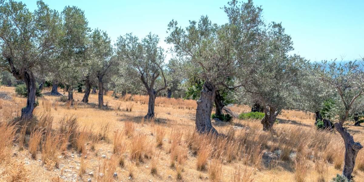 olive trees, plot, Samos, nature