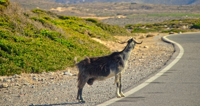 Goat in a small road in Greece, nature, mountains, road trip, routes,