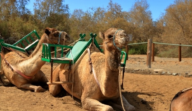 Camels resting on sand in Gran Canaria