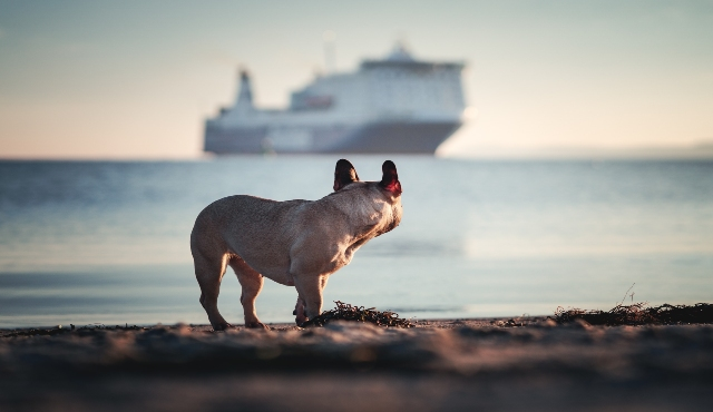 French bulldog at the port of Barcelona watching as the ferry sails away