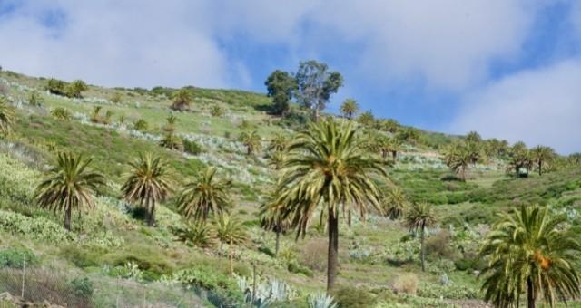Palmen an einem grünen Hang auf La Palma