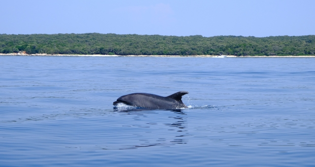 Dolphin in the Adriatic Sea, nature, holidays from Italy to Croatia, ferry routes from Cesenatico
