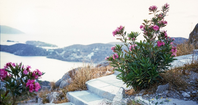 Pink flowers, cliff, nature, view Aegean sea, Ios island, holidays, Cyclades, ferry tickets