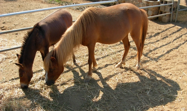 Skyrian horses: one of the most rare horse breeds in the world