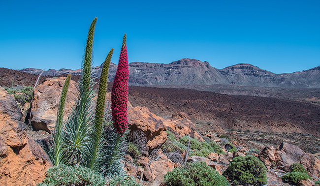 Colorful plants, Teide National Park, mountains, desert, blue sky, nature Tenerife