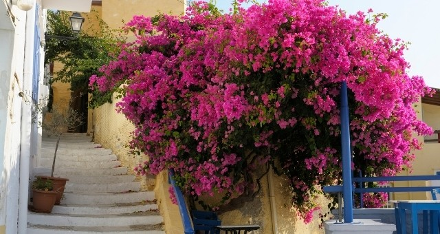 purple flowers in Syros alley